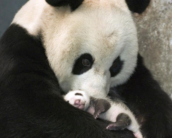 Puiul panda