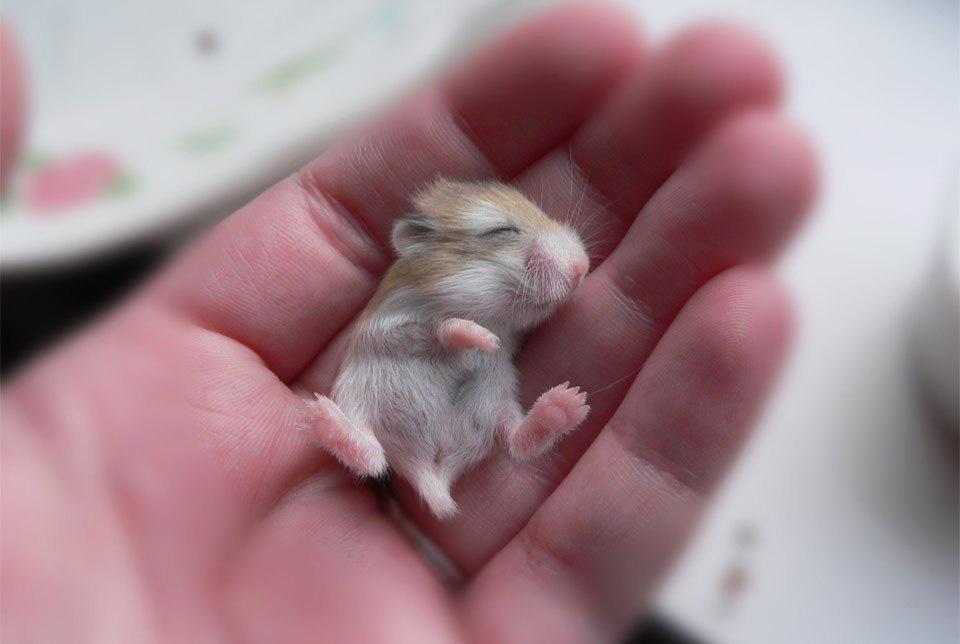 Hamster nou-născut