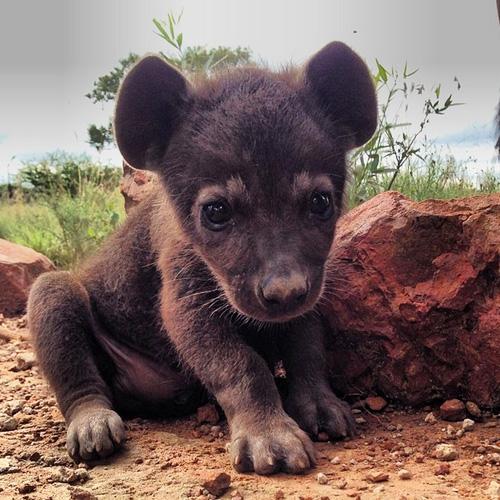 Pui de hienă