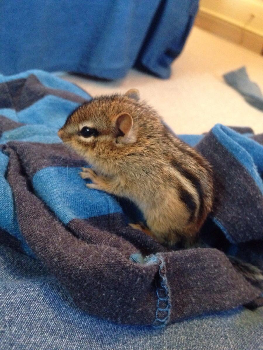 veveriță cu fălci