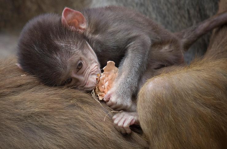 Pui de babuin