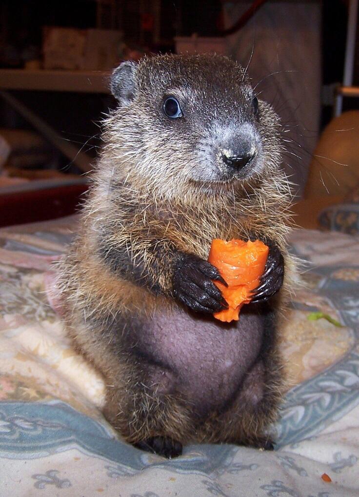 pui de marmotă